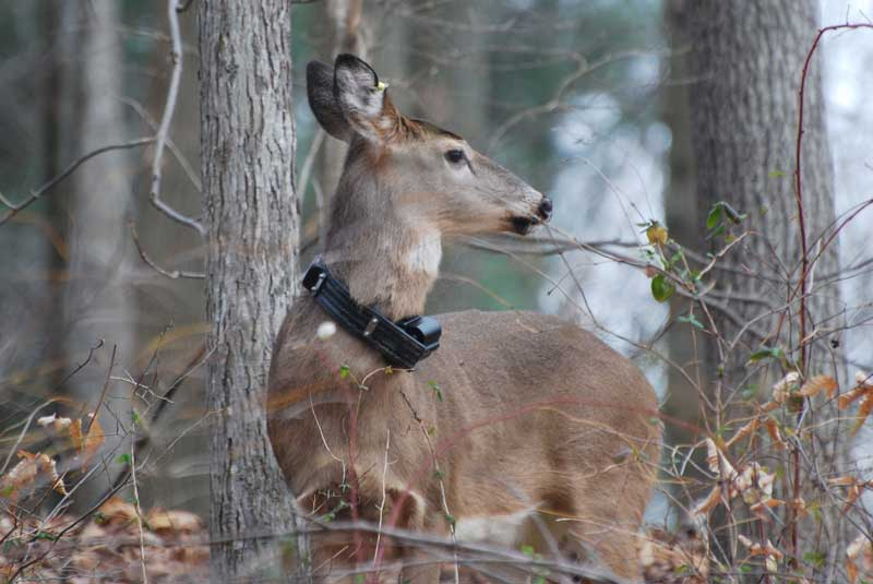 Deer with homing device around his collar