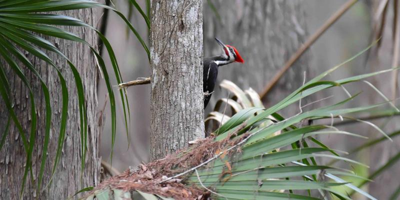 Pileated woodpecker on a palm tree
