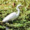A great egret walks through shallow water and  aquatic vegetation